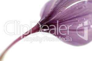 Purple flowers of saffron
