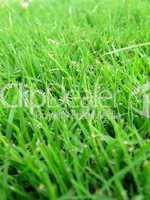 Lush green grass macro