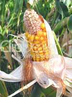 Ears of fresh corn