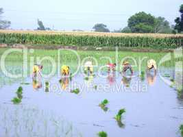 people in rice paddy field
