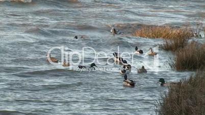 Flock ducks swimming in rough river