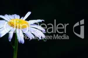 Camomile with drop