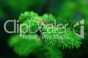 macro young fir-tree