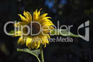 Sonnenblume Querformat