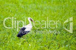 Storch im grünen Feld