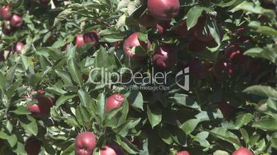 Reveal shot on a row of red delicious fruit trees