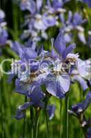 Iris, Schwertlilie