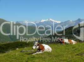 Kühe in den Kitzbüheler Alpen
