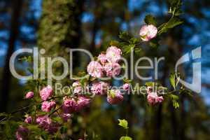 Mandelblüte, almond blossoms