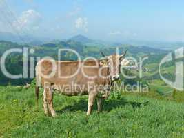 Kuh bei Appenzell
