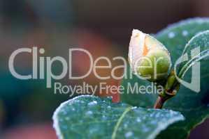 camellia flower bud