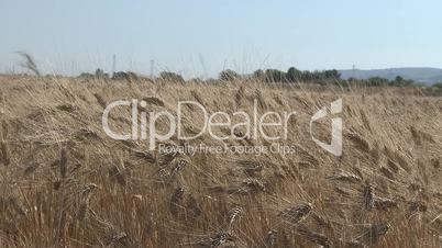 Golden wheat ready for harvest