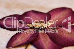 pressed poppy flower