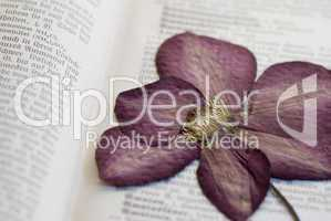 pressed clematis flower
