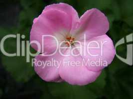 rosa geranie