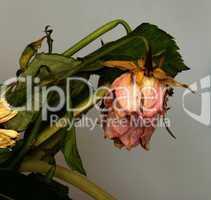 withered bouquet  / Verwelkte Blumen