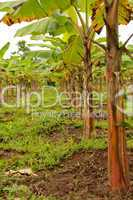 Bananenplantage in Südamerika