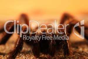 Bird Spider (Avicularia spec.) / Vogelspinne