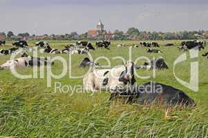 Kühe auf einer Weide bei Pilsum