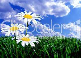 Rasen Wiese mit Blume vor blauem Himmel mit Wolken