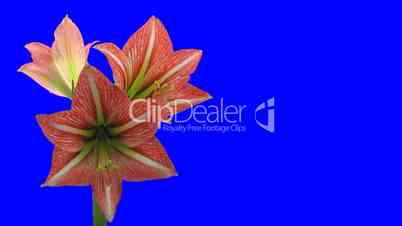 Time-lapse of opening Minerva Christmas amaryllis 3ck blue chroma keyed