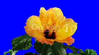 Time-lapse of orange hibiscus flower opening 5ck blue chroma key