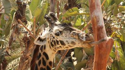 Funny Giraffe Moving Mouth as if Talking