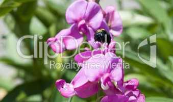 anfliegende Holzbiene