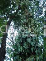 Kletterpflanze Brasilien