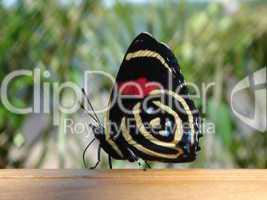 Schmetterling Urwald 01