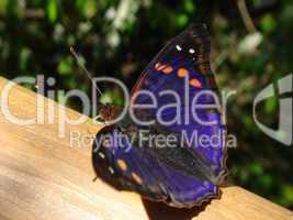 Schmetterling Urwald 04