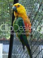Papagei Gelb Grün