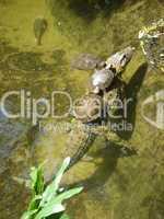 Schildkröten auf Krokodil