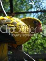 Papagei Gelb Schwarz