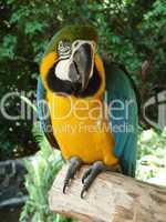 Papagei Blau Gelb Grün 02