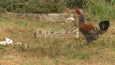 Cuba rooster
