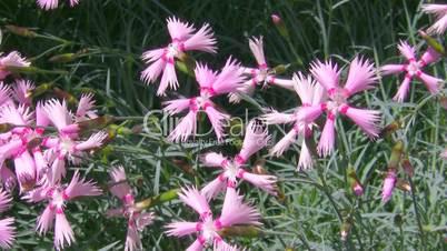 Garden carnation.