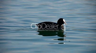 bird bald coot swimming