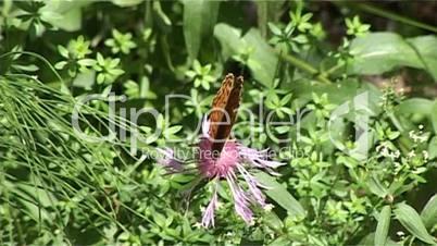 Schmetterling Blume 01