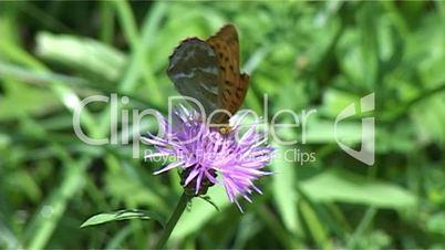 Hummel verjagt Schmetterling 01