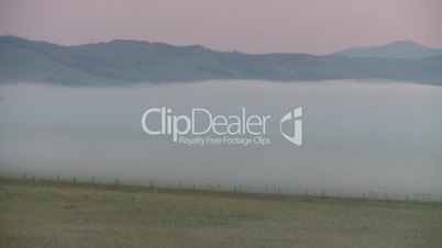 sunrise fog cows