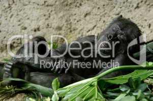 Schlafender Schimpanse