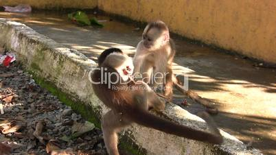 Urban population of White-fronted Capuchin Monkeys (Cebus albifrons)