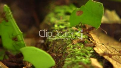 Trail of leaf cutter ants (Atta sp.) on the rainforest floor