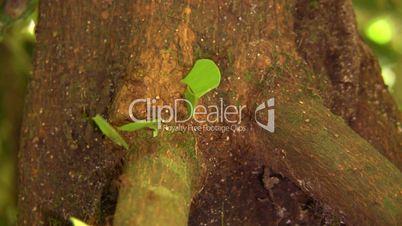 Leaf cutter ants (Atta sp.)