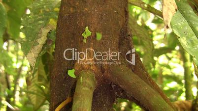 Trail of leaf cutter ants (Atta sp.) coming down a tree trunk in the rainforest