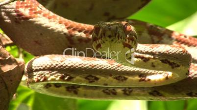 Amazon tree boa (Corallus hortulanus)