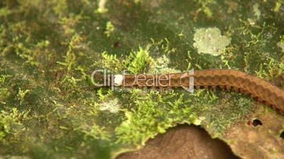 Peripatus or velvet worm