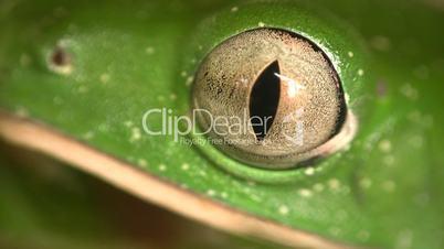 Barred monkey frog (Phyllomedusa tomopterna)