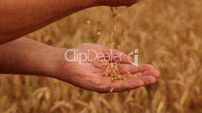 Weizen in die Hand rieseln